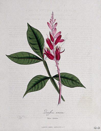 Surinam quassia wood (Quassia amara): flowering stem and leaf. Coloured zincograph, c 1853, after M Burnett. Contributors: MA Burnett. Work ID: etsshm3m.