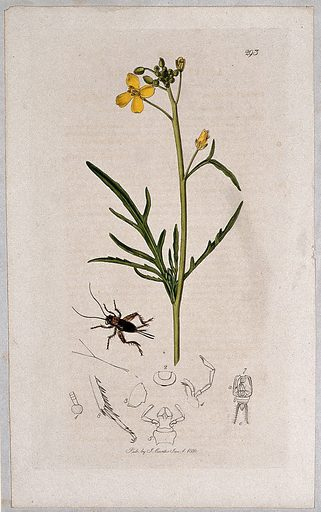 Hedge mustard plant (Sisymbrium tenuifolium) with an associated insect and its abdominal segments. Coloured etching, c 1830. Work ID: jbksn7c6.