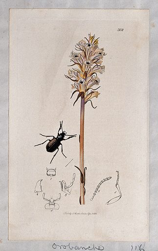 A broomrape plant (Orobanche minor) with an associated beetle and its abdominal segments. Coloured etching, c 1830. Work ID: ffgjwbvk.