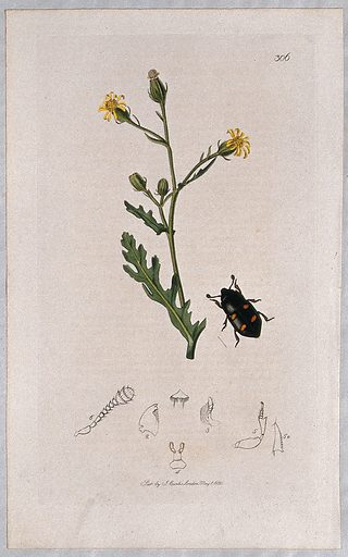 A groundsel plant (Senecio viscosus) with an associated beetle and its abdominal segments. Coloured etching, c 1830. Work ID: qf4ceas2.