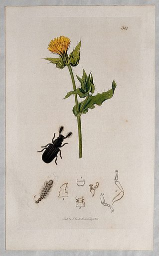 Ox-tongue plant (Picris echioides) with an associated beetle and its anatomical segments. Coloured etching, c 1830. Work ID: v74h4cnb.