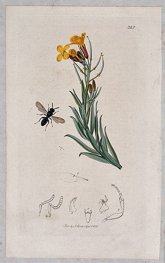 A wallflower (Cheiranthus cheiri) with an associated insect and its anatomical segments. Coloured etching, c 1830. Work ID: vvmapcuz.