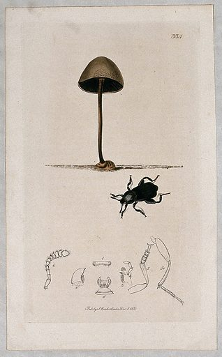 A fungal fruiting body (Coprinus species) with an associated beetle and its anatomical segments. Coloured etching, c 1830. Work ID: sv6x3j34.
