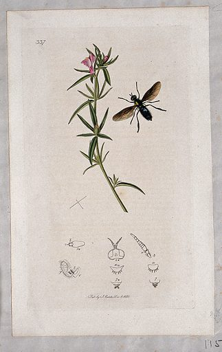 A snapdragon plant (Antirrhinum orontium) with an associated insect and its anatomical segments. Coloured etching, c 1830. Work ID: msz7tc9r.