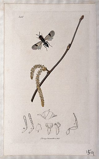 Hazel twig (Corylus avellana) with an associated insect and its anatomical segments. Coloured etching, c 1831. Work ID: uatdramg.
