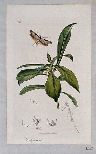 Spurge laurel plant (Daphne laureola) with an associated moth and its anatomical segments. Coloured etching, c 1831. Work ID: uc4w8ash.