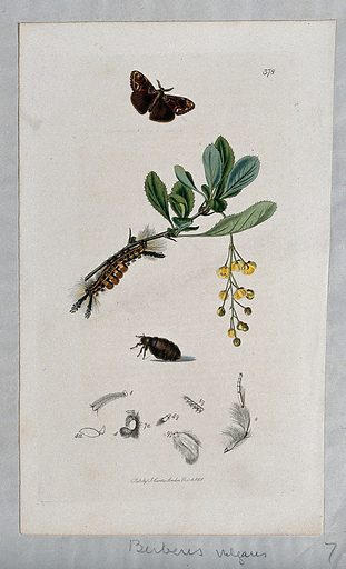 Common barberry (Berberis vulgaris) with an associated moth, its caterpillar, chrysalis and anatomical segments. Coloured etching, c 1831. Work ID: tne29xvq.