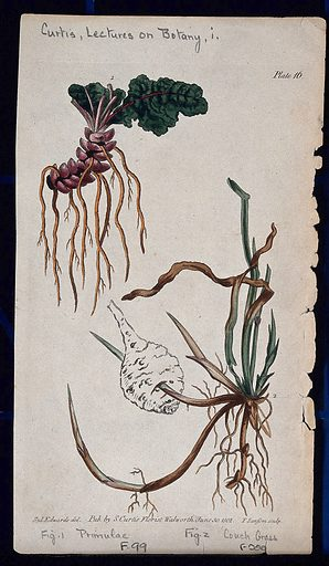 Two examples of different root systems: a denticulate primrose rootstock and a creeping couch grass root. Coloured etching by F Sansom, c 1802, after S Edwards. Contributors: Sydenham Teast Edwards. Work ID: sywkq2vp.