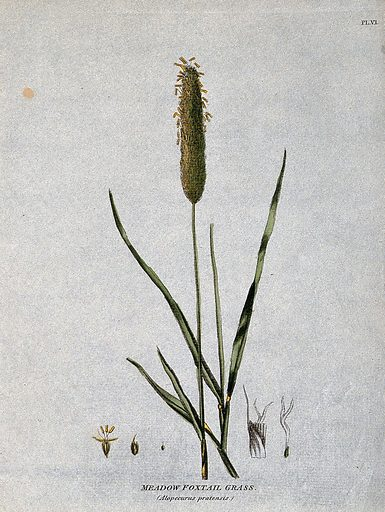 Meadow foxtail grass (Alopecurus pratensis): seedhead, leafy stems and floral segments. Coloured etching, c 1805. Work ID: bbp3w9hj.