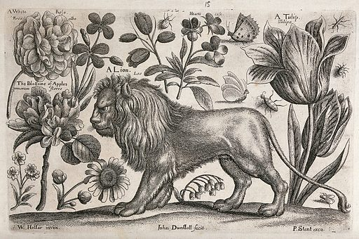 A lion surrounded by flowers and insects. Etching by J Dunstall, 1663, after W Hollar. Created 1674. Botany – England – History (- 17th century). Botany – Pre-Linnean works. Zoology – England – History (- 17th century). Zoology – Pre-Linnean works. Animals. Ornamental. Plants. Rosaceae. Roses. Flowers. Lion. Tulips. Liliaceae. Violaceae. Flies. Beetles. Moths. Lepidoptera. Contributors: Wenceslaus Hollar (1607–1677); John Dunstall (active 1660). Work ID: ebwuy76h.