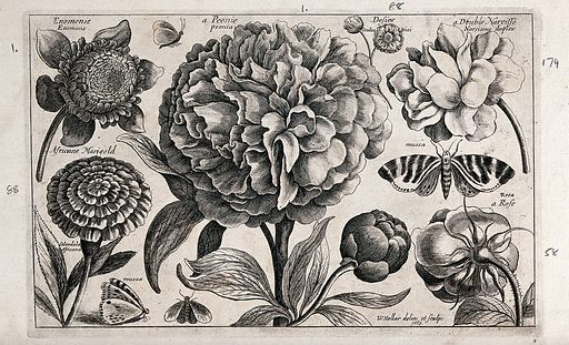 A large paeony (Paeonia species) surrounded by various flowers and moths. Etching by W Hollar, 1663, after himself. Created 1674. Botany – Pre-Linnean works. Ornamental. Plants. Insects. Flowers. Daffodils. Amaryllidaceae. Narcissus (Plants). Double flowers. Ranunculaceae. Anemones. Paeoniaceae. Compositae. Marigolds. Rosaceae. Roses. Lepidoptera. Zoology – Pre-Linnean works. Contributors: Wenceslaus Hollar (1607–1677). Work ID: s729rh9b.