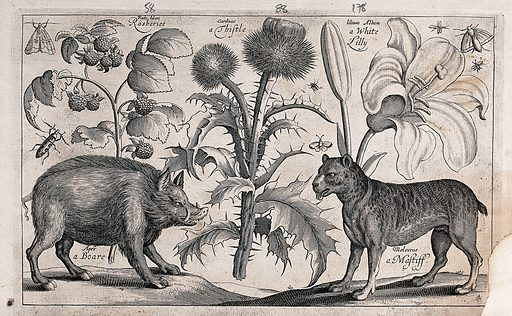 A thistle in the centre with a boar to the left facing a mastiff to the right, all surrounded by various plants and insects. Engraving by D Loggan, 1663, after W Hollar. Created 1674. Botany – England – History (- 17th century). Botany – Pre-Linnean works. Zoology – England – History (- 17th century). Zoology – Pre-Linnean works. Animals. Ornamental. Plants. Flowers. Entomology – England – History (- 17th century). Thistles. Carduus. Compositae. Boars. Wild boar. Dogs. Mastiff. Rubiaceae. Rubus. Raspberries. Fruit. Liliaceae. Lilies. Beetles. Moths. Lepidoptera. Contributors: Wenceslaus Hollar (1607–1677); David Loggan (1635–1700?). Work ID: dccyhq4k.