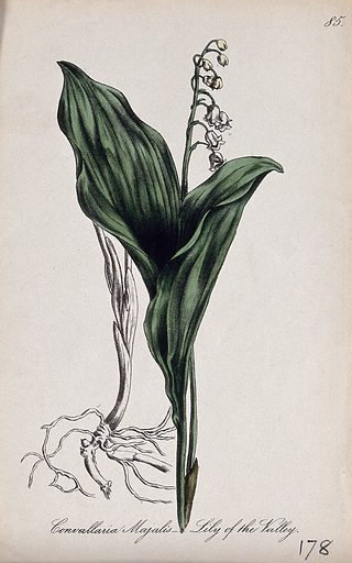 Lily-of-the-valley (Convallaria majalis): flowering stem with leaves and separate roots. Partially coloured lithograph by F Waller, c 1863, after C Gower. Contributors: Charlotte Gower. Work ID: brmdpf84.