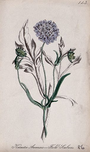 Field scabious plant (Knautia arvensis): flowering and fruiting stem. Partially coloured lithograph by F Waller, c 1863, after C Gower. Contributors: Charlotte Gower. Work ID: fb3v3xbk.