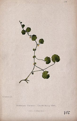 Cornish moneywort or pennywort plant (Sibthorpia europaea): flowering and leafy stem. Coloured lithograph by W G Smith, c 1863, after himself. Contributors: Worthington George Smith. Work ID: nsakvx8m.