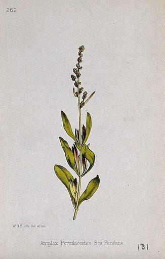 A saltbush plant (Atriplex portulacoides): flowering stem. Coloured lithograph by W G Smith, c 1863, after himself. Contributors: Worthington George Smith. Work ID: nbm8rw4m.