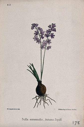 Autumn squill (Scilla autumnalis): entire flowering plant. Coloured lithograph by W G Smith, c 1863, after himself. Contributors: Worthington George Smith. Work ID: fbq84hx5.