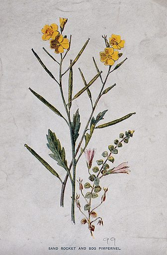 Wall rocket (Diplotaxis muralis) and bog pimpernel (Anagallis tenella): flowering and fruiting stems. Chromolithograph, c 1877, after F E Hulme. Contributors: Frederick Edward Hulme. Work ID: eq9xfbeu.