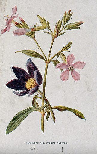 Soapwort (Saponaria officinalis) and pasque-flower (Pulsatilla vulgaris): flowering stems. Chromolithograph, c 1877, after F E Hulme. Contributors: Frederick Edward Hulme. Work ID: bdtmepgs.