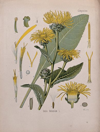 Elecampane plant (Inula helenium): flowering stem, leaf and floral segments. Chromolithograph, c 1887, after W Müller. Elecampane root (Radix helenii) was formerly used to treat skin and chest disease. Created 1887. Botany – Germany (- 19th century). Useful. Plants. Medicinal plants. Flowers – Anatomy. Compositae. Seeds. Contributors: Walther. Müller. Work ID: xwccjjqt.