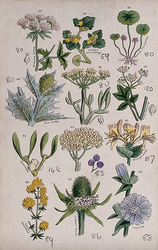 Twelve British wild flowers with their common names. Coloured engraving, c 1861, after J Sowerby. Contributors: John Edward Sowerby. Work ID: fh9qzzrf.