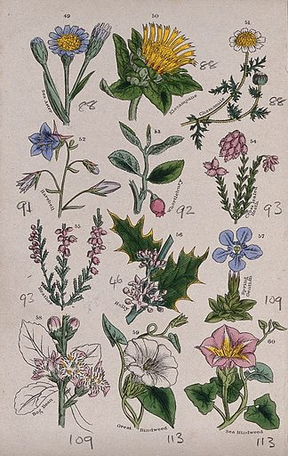 Twelve British wild flowers with their common names. Coloured engraving, c 1861, after J Sowerby. Contributors: John Edward Sowerby. Work ID: kuwtpjcp.
