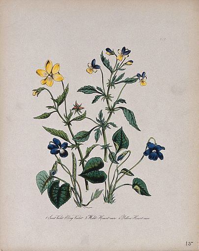 Four British wild flowers, two violets and two species of heart's ease. Coloured lithograph, c 1846, after H Humphreys. Contributors: Henry Noel Humphreys. Work ID: ekc4mvrg.