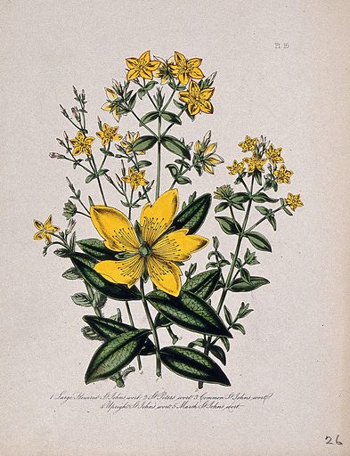 Five British wild flowers, all types of St John's wort (Hypericum species). Coloured lithograph, c 1846, after H Humphreys. Created 1846. Botany – England – History (- 19th century). Plants – Great Britain. Wild flowers – Great Britain. Wild flowers. Guttiferae. Hypericum. Contributors: Henry Noel Humphreys (1810–1879); Mrs Loudon (1807–1858). Work ID: ujmjqnac.
