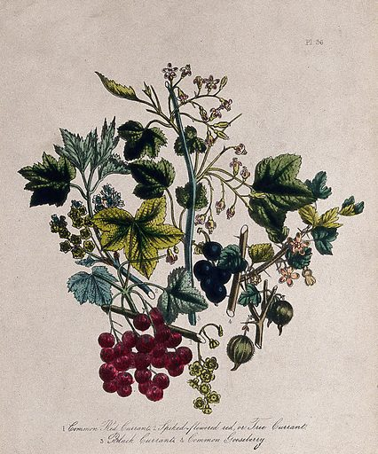 Four British wild flowers and fruit, including red currant (Ribes rubrum), black currant (Ribes nigrum) and gooseberry (Ribes uva-crispa). Coloured lithograph, c 1856, after H Humphreys. Contributors: Henry Noel Humphreys. Work ID: vrscjh8e.