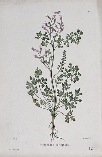 Fumitory (Fumaria officinalis): entire flowering plant. Coloured etching by A Duménil, c 1865, after P Naudin. Contributors: Philibert Naudin. Work ID: wefahs9k.