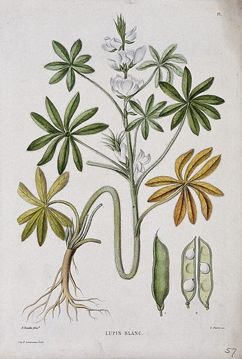 White lupin (Lupinus albus): entire flowering plant with pod. Coloured etching by C Pierre, c 1865, after P Naudin. Contributors: Philibert Naudin. Work ID: by54guwb.