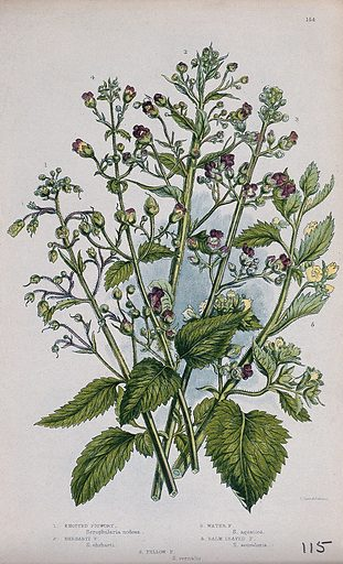 Five flowering plants, all types of figwort (Scrophularia species). Chromolithograph by W Dickes & co., c 1855. Contributors: W Dickes & Co Work ID: b6rnev4j.