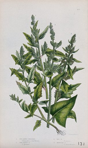 Four flowering plants, all types of goosefoot (Chenopodium species). Chromolithograph by W Dickes & co., c 1855. Contributors: W Dickes & Co Work ID: bsftpngp.