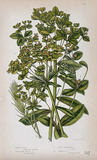 Four flowering plants, all types of spurge (Euphorbia species). Chromolithograph by W Dickes & co., c 1855. Contributors: W Dickes & Co Work ID: nnzvx3x8.