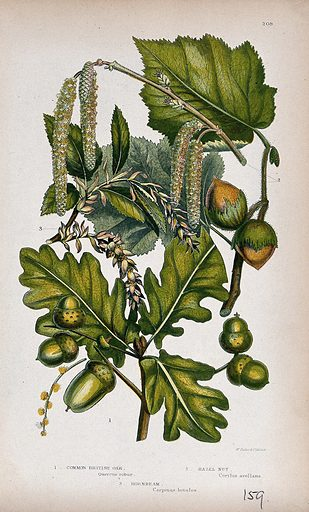 Oak (Quercus robur), hazel (Corylus avellana) and hornbeam (Carpinus betulus): fruiting and flowering twigs. Chromolithograph by W Dickes & co., c 1855. Contributors: W Dickes & Co Work ID: wyrytu88.