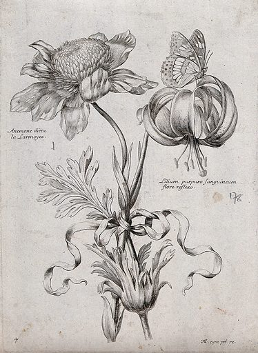 An anemone (Anemone species) and lily (Lilium species): flowering stems with butterfly. Etching by N Robert, c 1660, after himself. Contributors: Nicolas Robert. Work ID: h6h4dnem.
