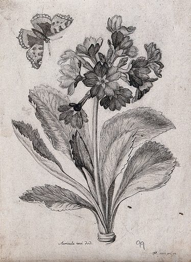 An auricula plant (Primula auricula): flowering stem with a butterfly. Etching by N Robert, c 1660, after himself. Contributors: Nicolas Robert. Work ID: vrvjjs23.