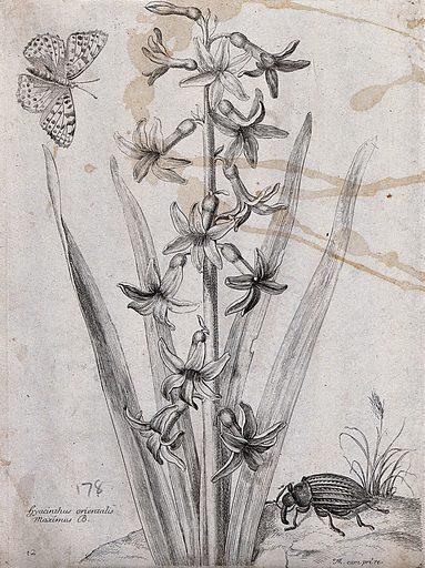 Hyacinth (Hyacinthus orientalis): flowering plant with butterfly and beetle. Etching by N Robert, c 1660, after himself. Contributors: Nicolas Robert. Work ID: a59u2esz.