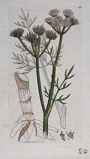 Water dropwort (Oenanthe peucedanifolia): flowering stem, leaves, roots and floral segments. Coloured engraving after J Sowerby, 1796. Contributors: James Sowerby. Work ID: mpn24svx.