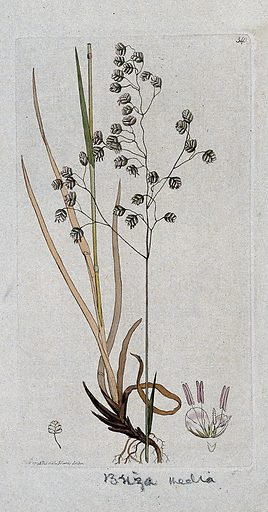 Quaking grass (Briza media): flowering stem, leaves and floral segments. Coloured engraving after J Sowerby, 1796. Contributors: James Sowerby. Work ID: bauu4we9.