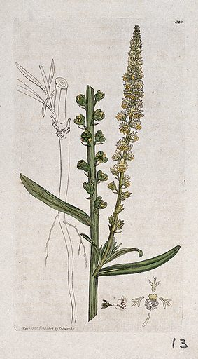 Dyer's rocket (Reseda luteola): flowering stem, root and floral segments. Coloured engraving after J Sowerby, 1796. Contributors: James Sowerby. Work ID: jb6kxztz.