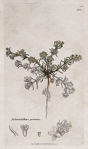 Knawel plant (Scleranthus perennis): flowering plant and floral segments. Coloured engraving after J Sowerby, 1796. Contributors: James Sowerby. Work ID: yn82hfra.