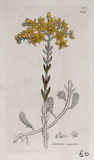 Stonecrop (Sedum rupestre): flowering plant and floral segments. Coloured engraving after J Sowerby, 1794. Contributors: James Sowerby. Work ID: b2mkbjf7.