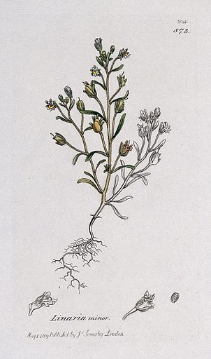 Small toadflax (Chaenorhinum minus): flowering plant and floral segments. Coloured engraving after J Sowerby, 1809. Contributors: James Sowerby. Work ID: rz8vdv74.