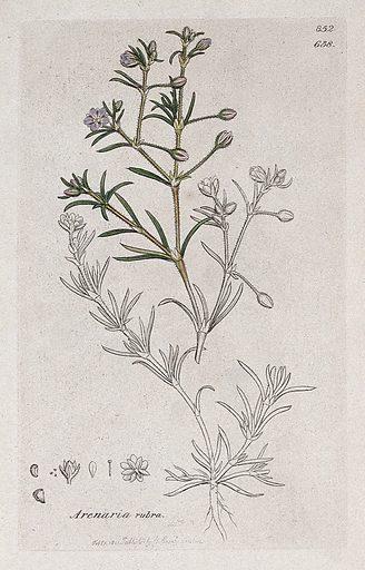Sand spurrey (Spergularia rubra): flowering stem and floral segments. Coloured engraving after J Sowerby, 1801. Contributors: James Sowerby. Work ID: vsynfrjx.