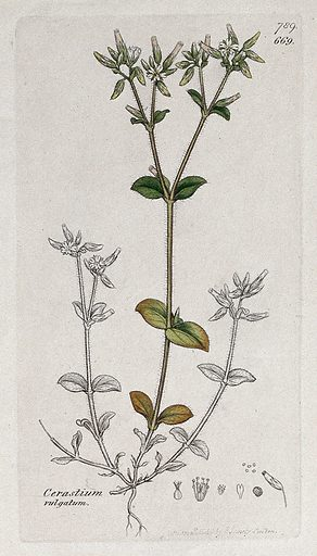 Sticky mouse-ear (Cerastium glomeratum): flowering stem and floral segments. Coloured engraving after J Sowerby, 1800. Contributors: James Sowerby. Work ID: gdx8f7fp.