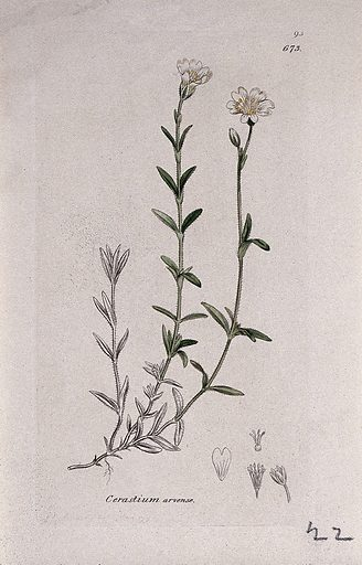 Field mouse-ear (Cerastium arvense): flowering stem and floral segments. Coloured engraving after J Sowerby, 1793. Contributors: James Sowerby. Work ID: q97e7bje.