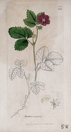Arctic raspberry (Rubus arcticus): flowering stem, root and floral segments. Coloured engraving after J Sowerby, 1806. Contributors: James Sowerby. Work ID: dpvfjhd7.