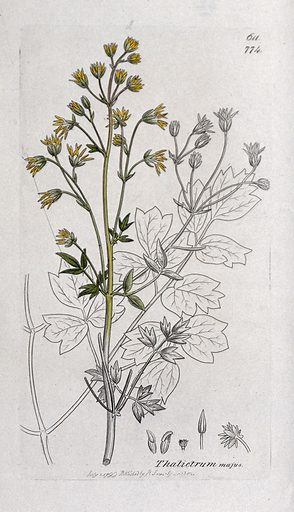 Meadow-rue (Thalictrum majus): flowering stem, leaf and floral segments. Coloured engraving after J Sowerby, 1799. Created 1 July 1799. Botany – England – History (- 18th century). Plants – Great Britain. Wild flowers – Great Britain. Ranunculaceae. Thalictrum. Contributors: James Sowerby (1757–1822); James Edward Smith (1759–1828). Work ID: pn8xqkmf.