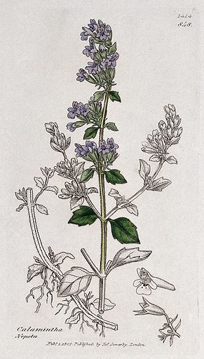 Calamint (Calamintha species): flowering stem, roots and floral segments. Coloured engraving after J Sowerby, 1805. Contributors: James Sowerby. Work ID: q6aqrkuw.